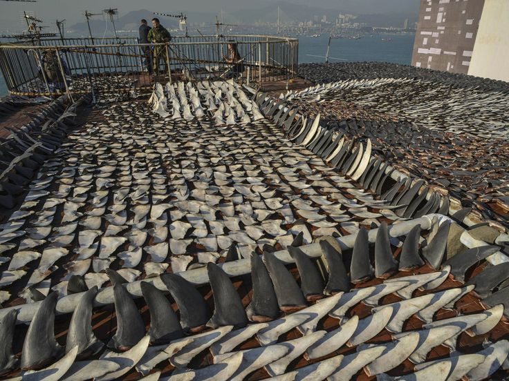 Live shark finning is a practice that happens all around the world in  which, sharks are caught, their fins are severed from their bodies, before  they are then dumped back into the water still alive to either drown or be  eaten alive by other animals.