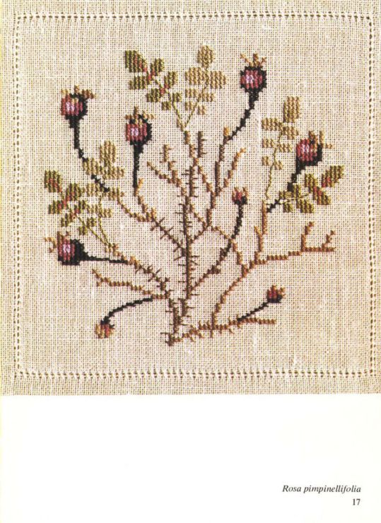 rosa pimpinellifolia   1