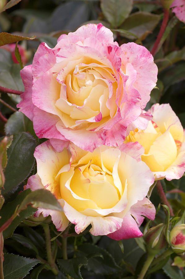 Roses (rosa camille Pissaro)