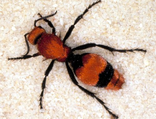 """Summer 2015 these bright red ants worked hard in my garden all summer....Dorsal view of adult female """"cow killer,"""" Dasymutilla occidentalis occidentalis (Linnaeus), a velvet ant."""