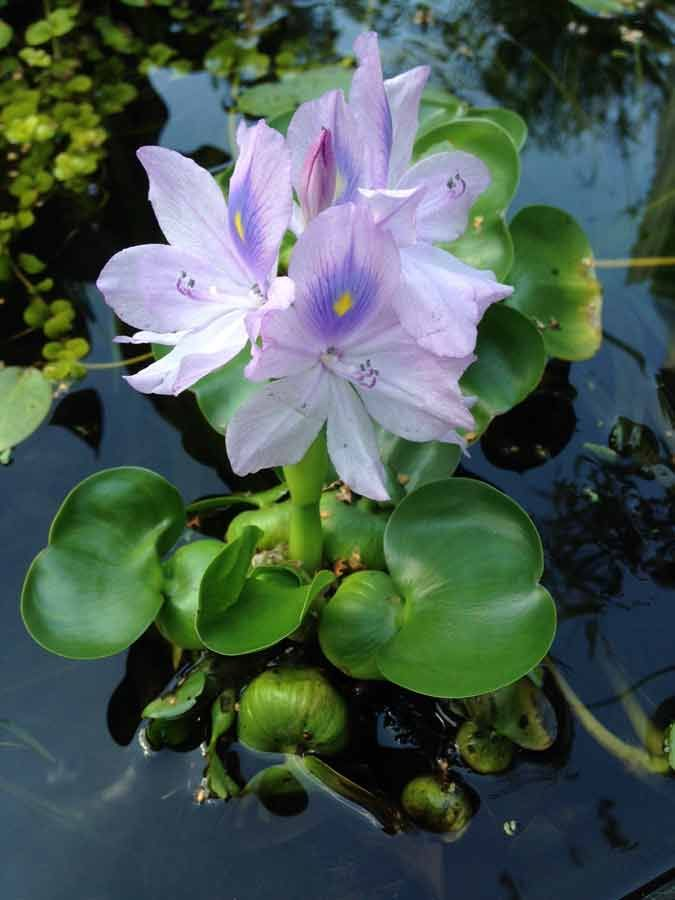 The best way to maintain clear healthy water is to incorporate a large number of plants into the pond in addition to proper filtration