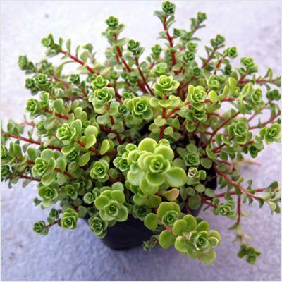 Buy japanese golden ogon sedum - plant now from Indias largest online plant nursery at best price. Get a Free plastic pot with japanese golden ogon sedum - plant |
