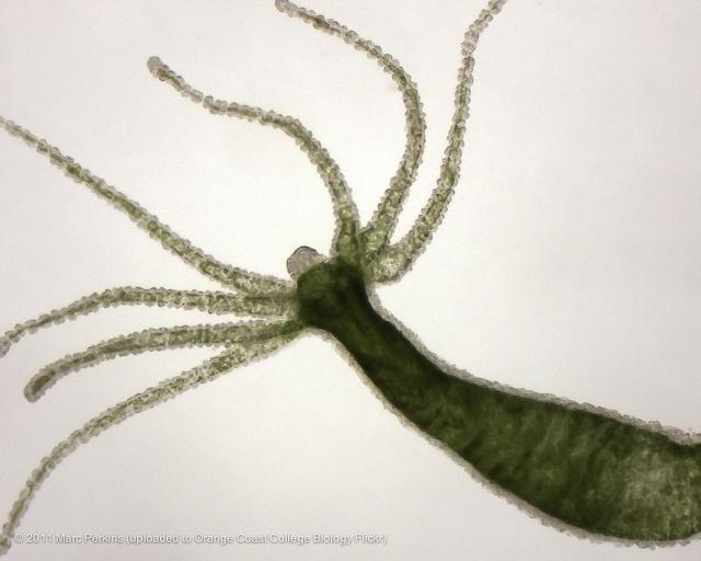 A whole live green hydra (Phylum Cnidaria, class Hydrozoa ...