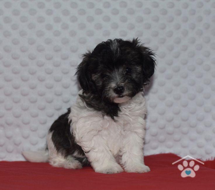 Black White Tati Puppy Maltipoo Puppies For Sale Maltipoo