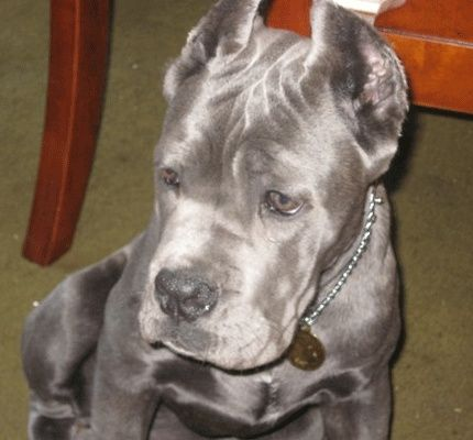 Cane Corso. I want an exact clone of this dog!!