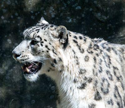 Die besten 25 Schneeleopard Ideen auf Pinterest  Leoparden