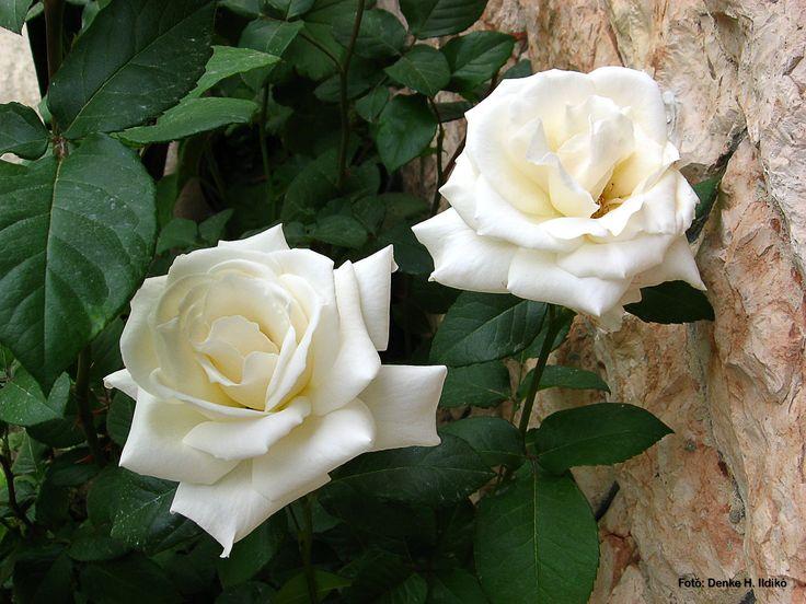 Fehér rózsák / White Rose Fotó: Denke H. Ildikó
