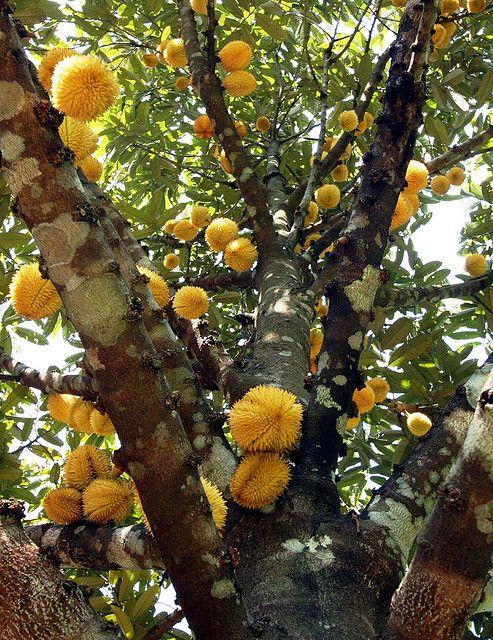 Wild Durian tree