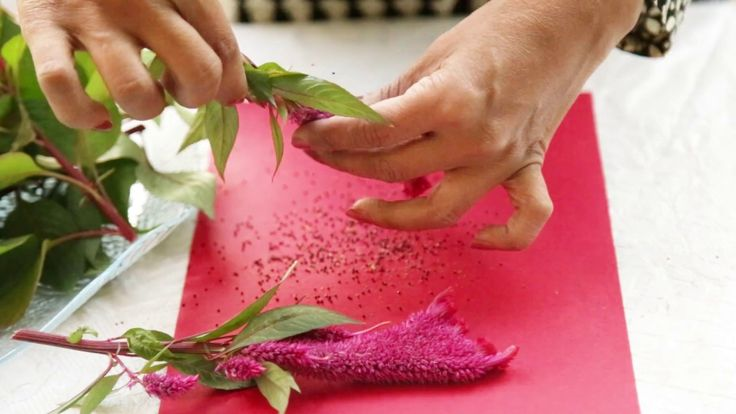Preserving the Colors of Summers : Learn How To Collect Celosia Seeds?(U...