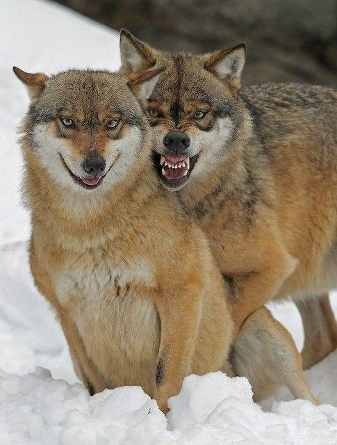 Серый волк фото прикол, картинках лет мужчине