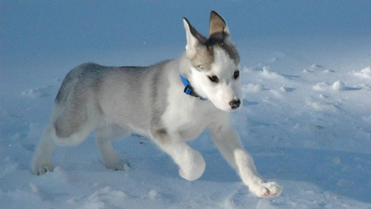 Husky siberiano Wallpapers HD | Fotosdelanaturale…