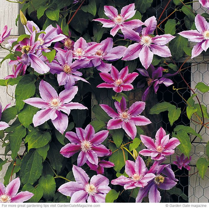 Want an easy-growing clematis covered in big flowers? Look no further than 'Bees' Jubilee'! Its 6- to 8-inch-wide mauve-pink blooms have a carmine-pink central bar on each petal. And while hummingbirds love the flowers, deer will usually leave the plant alone.