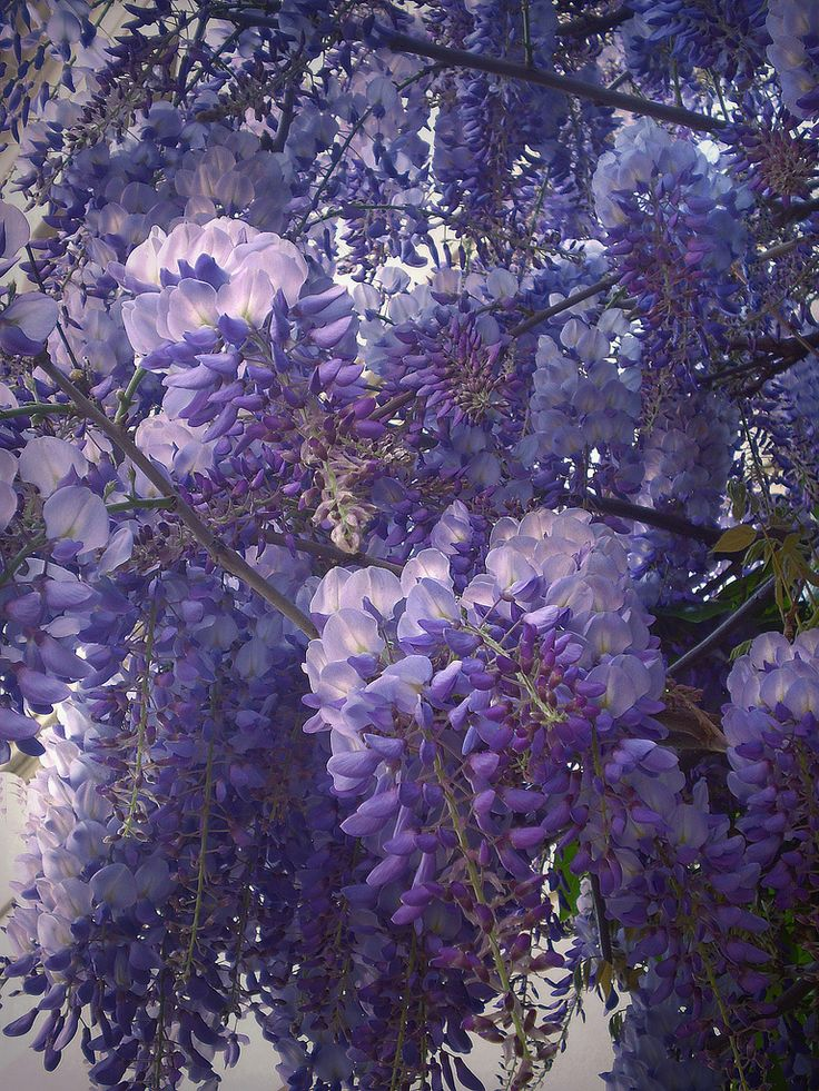 24 Best Images About Whimsical Wisteria On Pinterest