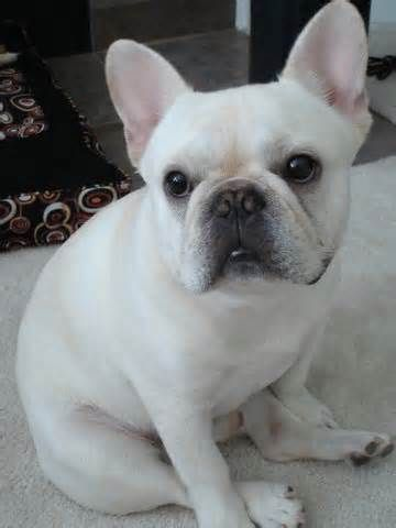 adult white french bulldog - Bing Images