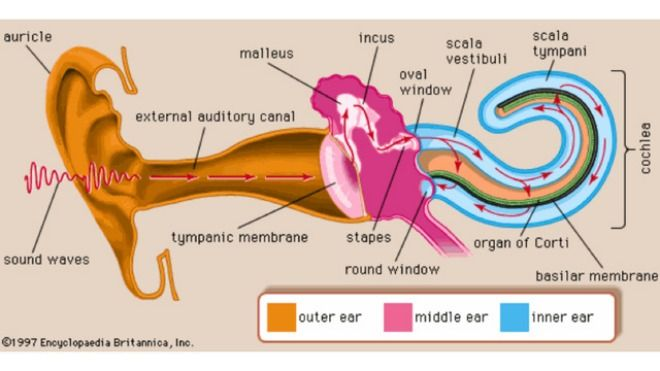 When sound waves enter the outer ear, the vibrations impact the ear drum and are transmitted to the middle and inner ear. Description from info.acoustiblok.com. I searched for this on bing.com/images