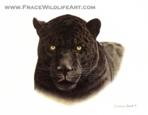 an analysis of the form of cat jaguar Foxes, skunks, a type of white-tailed deer known as coues deer and collared   to make a series of observations that they will then use to form an analysis   which leads to friction between the big cat and local ranch owners.