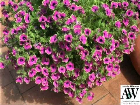 Hanging baskets using Pretty Much Picasso by Aussie Winners - create a gorgeous hanging basket and garden features for your garden.  www.aussiewinners.com.au