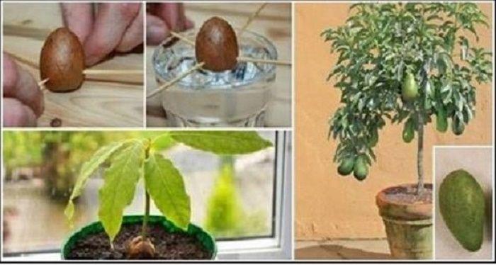 Se você fizer isso em um vaso plástico, em pouco tempo terá centenas de abacates…