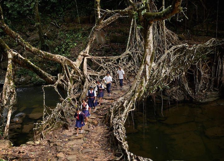 """In the wettest place on Earth, the village of Mawsynram in Meghalaya, India are some of the most fascinating bridges you'll ever see. These """"living bridges"""" are formed by locals who have trained the roots of rubber trees to grow into natural bridges. They are sturdy enough to far outlast man-made wooden structure bridges. Because …"""