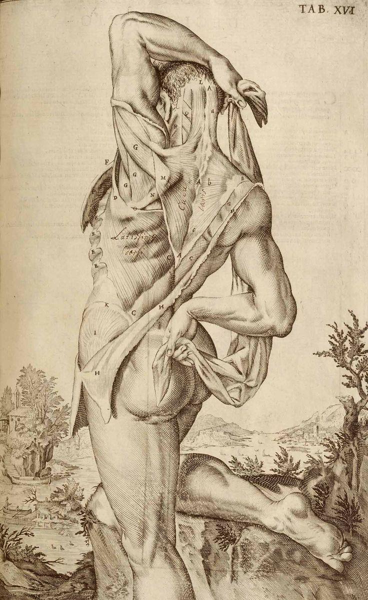 Muscles anatomy i like the art too