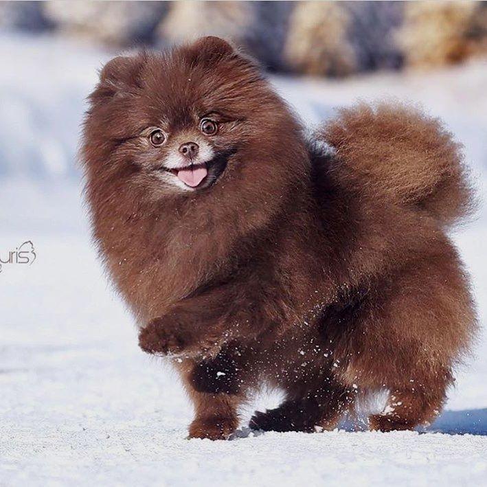 Pomeranian #Pomeranian