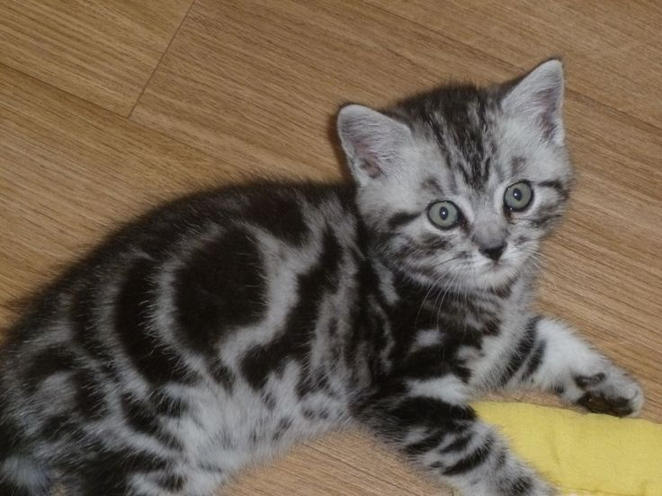 British shorthair kittens for sale pa