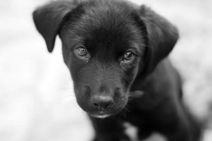 Black Labrador Cross Kelpie - Jett