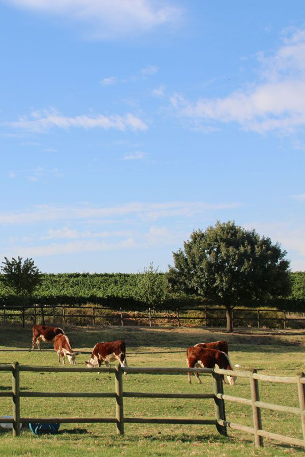 Under Oaks Wines is a Paarl gem! It is a beautiful, child friendly estate to visit with the family for wine tasting and delicious pizza.