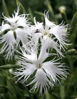 Dianthus arenarius; floriferous, sweetly scented and drought tolerant.