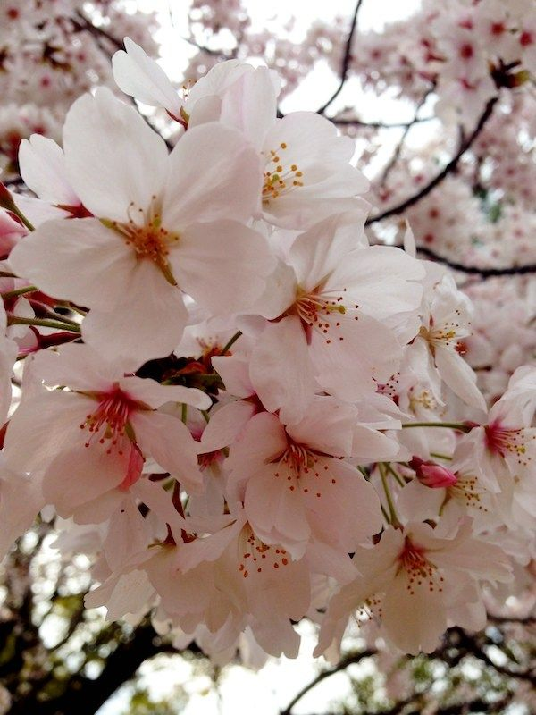 How Cherry Blossoms Became Japan S Bittersweet Ideology Jetset Times Pretty Flowers Pictures Cherry Flower Japan Sakura