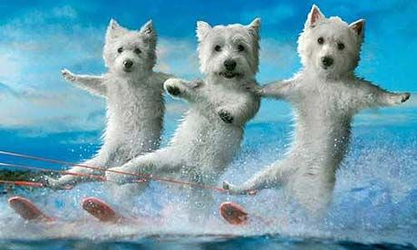 Waterskiing Westies: a perennial favourite. Photograph: © 2009 Icarus Art Calendars