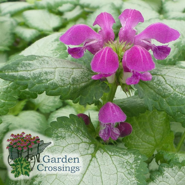 Lamium U0027Purple Dragonu0027 Is A Great Perennial For Shade Gardens And Shady  Areas In