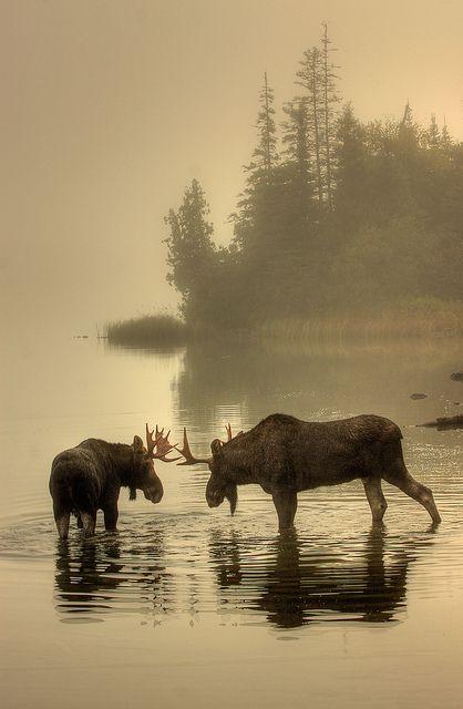 Moose, Isle Royale National Park, Michigan; photo by .Carl TerHaar