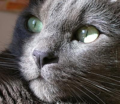 The Korat. One of the most beautiful cat breeds in my opinion.