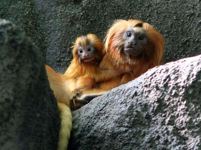 Beautiful Creatures – Golden Lion Tamarin