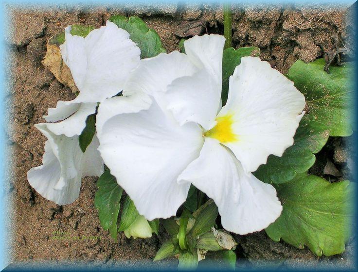 Viola wittrockiana, white