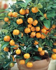 Calamondin. Citrus mitis a.k.a. Panama orange, Scarlet lime, Golden lime. Small citrus fruit resembling a miniature tangerine. Fruits are very juicy, with a sweet but acidic flavor. Common in tropical