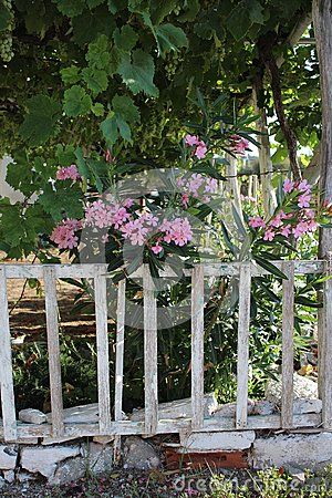 Beautiful nerium in a garden