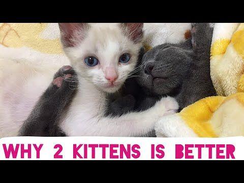 Why adopting 2 Kittens is better than one! Kitten Cuddle Room 24/7 Live Stream Kitten Cam 11/1/17 - YouTube