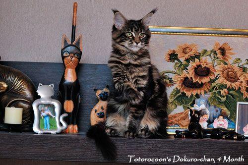 Фотографии Мейн Кун кошки Totorocoon Dokuro-chan
