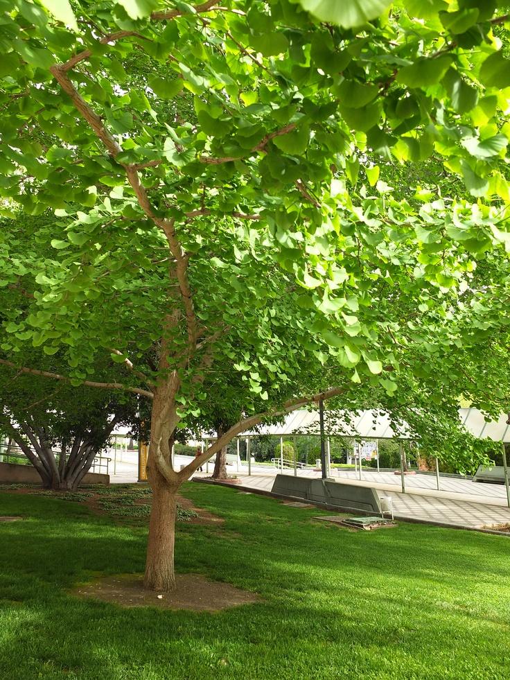 El ginkgo biloba de la UJA, un árbol único en el mundo sin parientes vivos, una de las especies más curiosas de los jardines de la Universidad