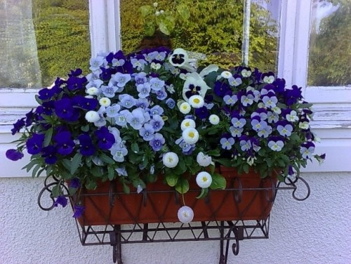 Beautiful pansies.Modern Country, Edible Flower, Windows Boxes, Flower Baskets, Boxes Design, Hanging Flower, Patios Flower, Flower Boxes, Flowerpot