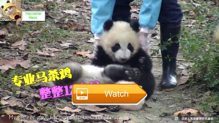 Panda Funny Extinct Animals Zoo Animals Funny And Cute Animals Hayvanlar Alemi  We are a community that owns and sells useless animals has lost pets with the help of you This channel will post interesting videos about cats and dogs cute  on Pet Lovers