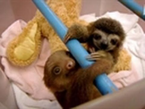 Baby Sloths Get Swaddled | Too Cute. Me and Kristen Bell should meet up some time to talk about sloths..