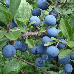 Blackthorn fruit – Sloe berries are the favourite of mistle thrushes