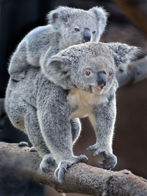 Gummy bears by Ion Moe   Flickr - Photo Sharing!  Tonahleah give her 10-month-old joey Gummy a koala back ride at the new Conrad Prebys Australian Outback exhibit at the San Diego Zoo