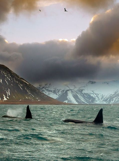 Orcas, Iceland. | Most Beautiful Pages