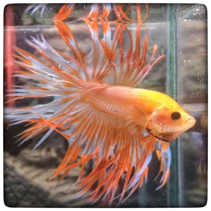 594 best images about beta fish on pinterest betta fish for Fish that can live with betta fish