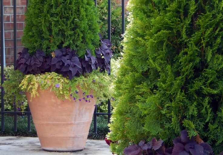 Perfect Potted Trees – Thuja Green Giant – Thuja Green Giant