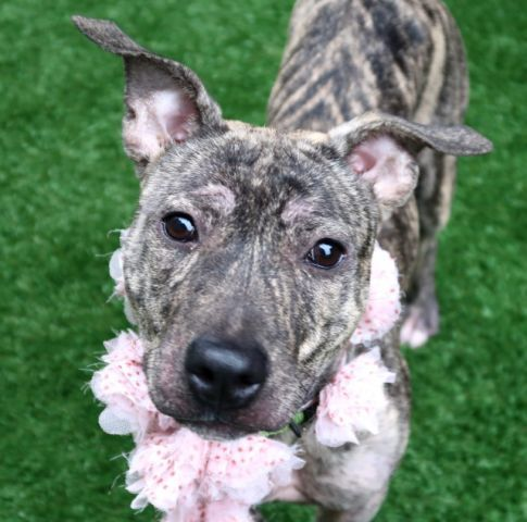 ROXIE - A1109259 - - Manhattan  TO BE DESTROYED  06/03/17 **A private donor has graciously offered to pay $400 to the New Hope partner that pulls** A volunteer writes: Foxy Roxie! Oh how I heart this precocious peanut princess. At just 9 months old, Roxie is merely a tiny bud arriving in our care just in time for spring. From her batty ears to her long, tiger tail, she is a compact cutie who has but one thing in mind: FUN! Yes our budding beauty (still a cutie) is the life